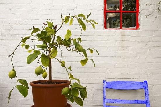 stablo limuna